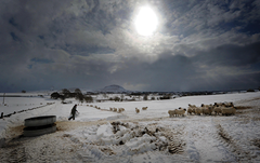 Pacemaker-farmer-feeds-sheep-snow